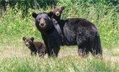 Help Keep Bears Wild!